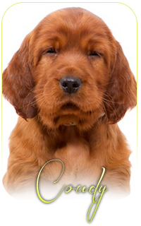IRISH RED SETTER COUDY APOLI GWEN